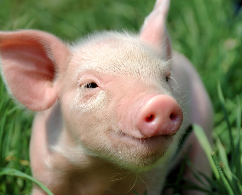 свинной коллаген